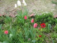 チューリップが咲いてきた。 - 花の自由旋律