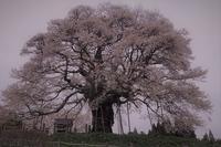 醍醐桜 - 寅年生まれ