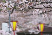 今朝の桜 ⑧ - グル的日乗