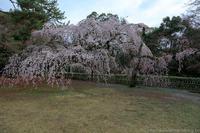 京都御苑近衛邸跡の糸桜 - ぴんぼけふぉとぶろぐ2