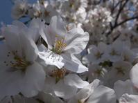 花散らし(清明) - ポケットに季節の手帖