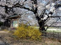 さくら サクラ 桜 🌸 ー6  山高神代桜 - NPHPブログ版