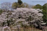 桜遠望 - muku3のフォトスケッチ