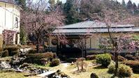 大女将の愛した桜 - 金沢犀川温泉 川端の湯宿「滝亭」BLOG