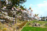 いよいよ開花ですね・・「郡山・大槻公園」 - Nature World & Flyfishing