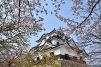 彦根城 桜その2 - 尾張名所図会を巡る
