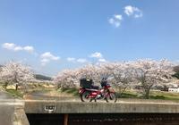桜・さくら・サクラ CT110ポスティで桜を楽しみに♪ - The 30th Freedom カワサキZ&ハーレー直輸入日記