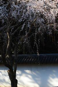 京都 桜2018 醍醐寺 - 写真部
