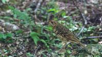 南の島遠征記録その3:これもこの島を代表する亜種です、オオトラツグミ - Life with Birds 3