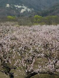 長野そぞろ歩き:アンズ畑 - 日本庭園的生活