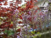 藤が咲き始めました - ichibey日々の記録