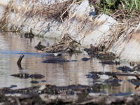 春の蓮田にタシギが集結 - コーヒー党の野鳥と自然 パート2
