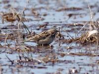 水溜りにいたホオアカ - コーヒー党の野鳥と自然 パート2