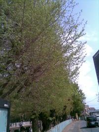 北朝霞公園の桜、完全に散る - RÖUTE・G DRIVE AFTER DEATH