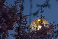 桜色に染まる夜を纏った木屋町で - 京都ときどき沖縄ところにより気まぐれ