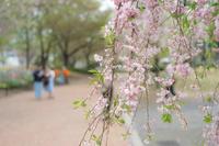 桜の季節後半へ - 柳に雪折れなし!Ⅱ