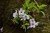 圧倒的桜。2018 - Sauntering