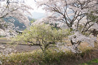 畦桜 - 小さな感動 Photo blog