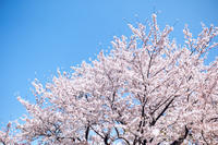 今年の桜 - IN MY LIFE Photograph