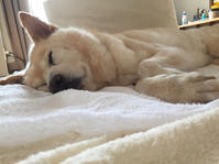 咳が増えてきた - 老犬。犬生これから。たまに猫