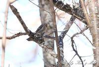 初見♪初撮り♪憧れの「ベニヒワ」さん♪ - ケンケン&ミントの鳥撮りLifeⅡ