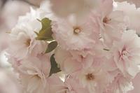 風立ちぬ 八重桜の新宿御苑 - みるはな写真くらぶ