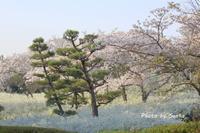2018 さくら巡り-愛知緑化センター- - さんたの富士山と癒しの射心館