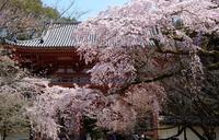 醍醐寺の桜(2)@2018-04-22 - (新)トラちゃん&ちー・明日葉 観察日記