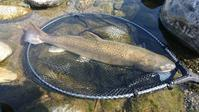 最近の天竜川…お客様の釣果 - ブラッドノット/フライフィッシング ブログ