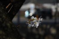 しつこく桜 - (=^・^=)の部屋 写真館