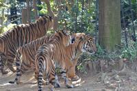 虎耳状斑 - 動物園へ行こう