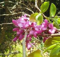 蘇芳色の花、蝶の花… - 侘助つれづれ