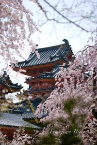 平安神宮の桜 ** - ふわふわ日和