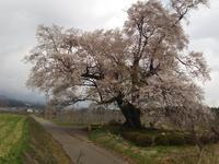 満開となった新田原の1本桜 - リンゴ園で想う