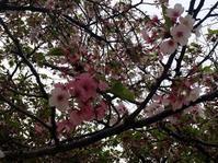 ソメイヨシノの源平咲き - しずかなノイズ