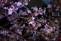 桜色に染まる夜を纏った木屋町で② - 京都ときどき沖縄ところにより気まぐれ