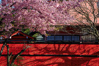 桜 2018!  ~車折神社~ - Prado Photography!