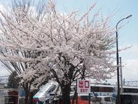 河口湖駅の桜満開 - 富士急行線に魅せられて…(更新休止中)