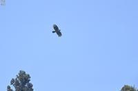 遥か青空を舞うクマタカ - 野鳥公園