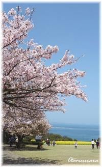 桜と菜の花と海&English Lesson 4.6 - 日々楽しく ♪mon bonheur