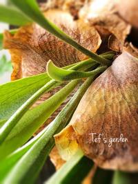 お気に入りの観葉植物。在りし日のコザクラファミリー♪うちの子発見! - てふの庭
