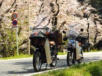 カブカブ隊~北本の桜を追って - やよいの空