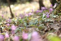 カタクリの花 - my FHOTO