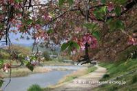 高野川で桜4 - 写楽彩