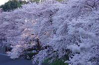 千鳥ヶ淵、北の丸公園その他の花たちも - 生きる。撮る。