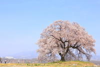 わに塚の桜(前編) - Photolog