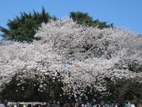 1000本の桜が咲き誇る「新宿御苑」 - イタリアワインのこころ