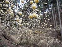 茂木町幻想的なミツマタ群生地Colony of mitsumata plant in Motegi, Tochigi - やっぱり自然が好き
