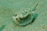 18.4.7 珍魚、続々 - 沖縄本島 島んちゅガイドの『ダイビング日誌』
