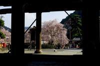 身延山の桜 - 暮らしの中で